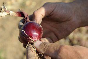 Männerhände halten frisch geerntete rote Zwiebel