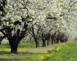 Reihe weiß blühender Bäume auf saftig grüner Wiese mit gelbem Löwenzahn