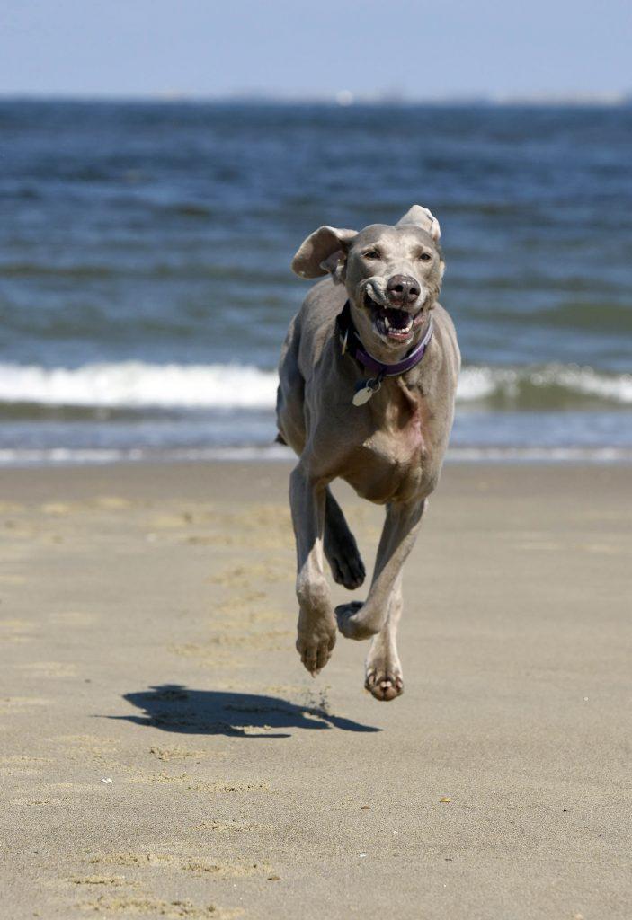 Hund rennt über den Strand auf die Kamera zu, im Hintergrund das blaue Meer