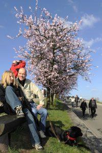 Spaziergänger vor blühenden Mandelbäumen
