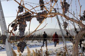 Winterliche Spaziergänger im Weinberg durch verschneiten Rebstock gesehen