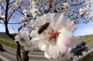 Großaufnahme Bien in Mandelblüte an einem Baum vor einer Straße