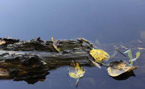 Gelbgefleckte Herbstblätter und ein morsches Holzstück im dunkelblauen Wasser