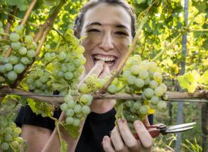 Die Pfälzische Weinkönigin Anna-Maria Löffler probiert lachend die reifen trauben
