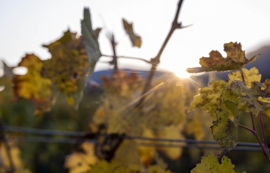 Die untergehende Sonne schickt ihre Strahlen über die bunten Blätter eines Weinbergs.