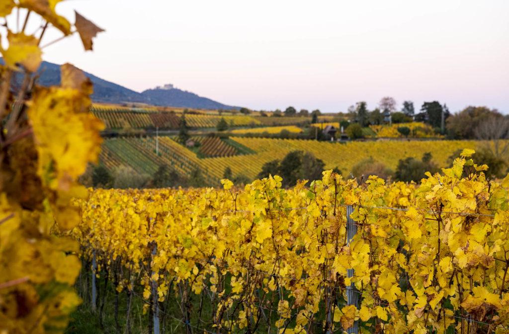 In den leuchtend gelben Weinbergen bei Rhodt unter Rietburg, im Hintergrund das Hambacher Schloss
