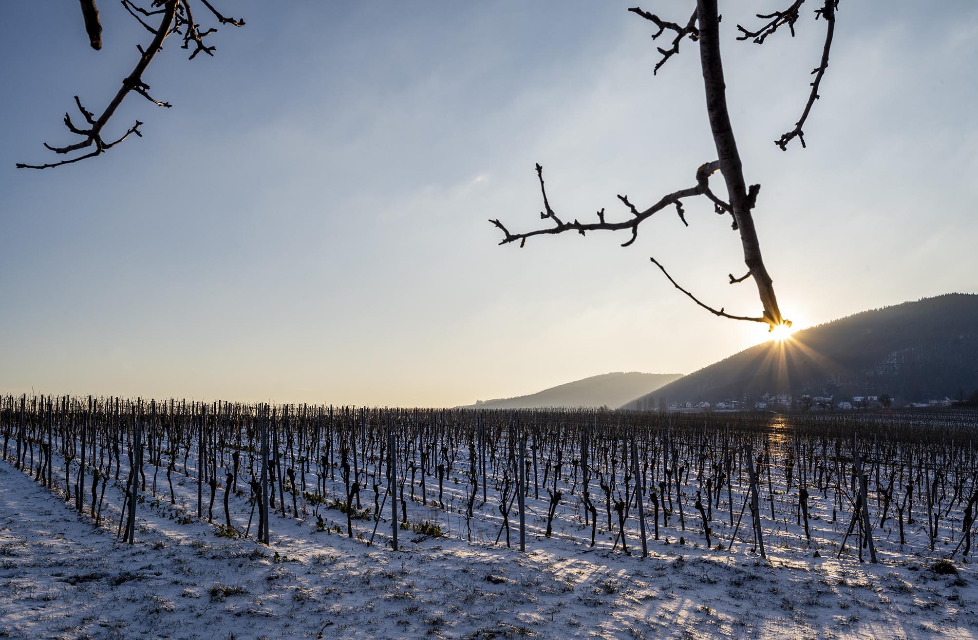 Sonne geht in der rechten Bildhälfte hinter Bergen unter, im Vordergrund kahle, schneebedeckte Weinstöcke