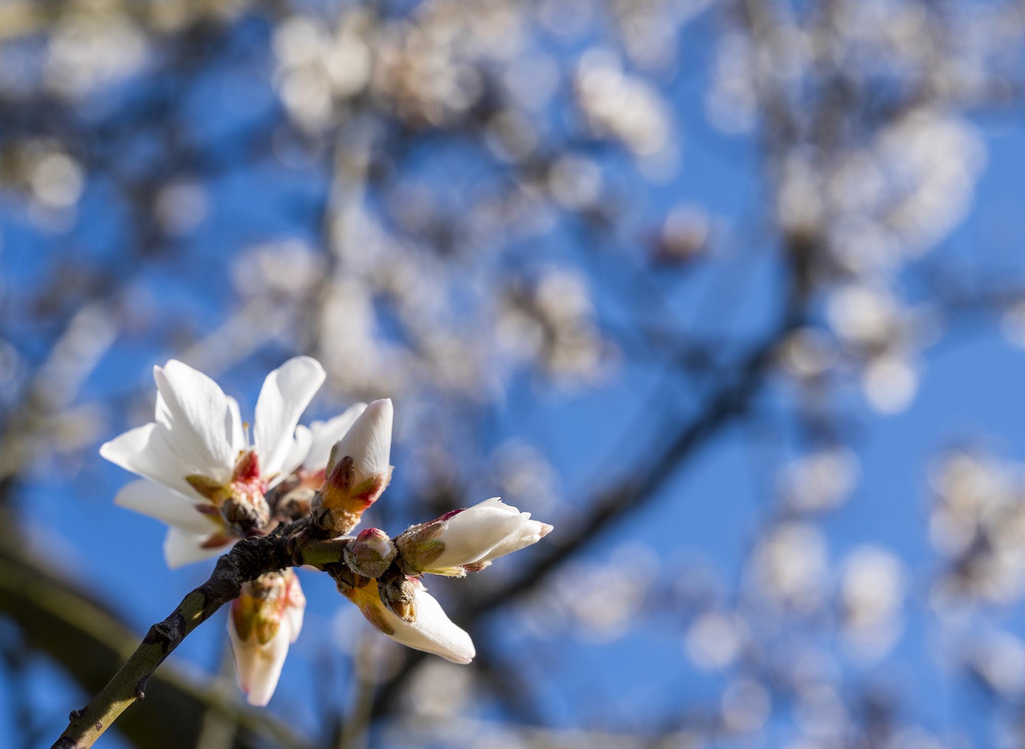 Großaufnahme einer Mandelblüte vor strahlend blauem Frühlingshimmel