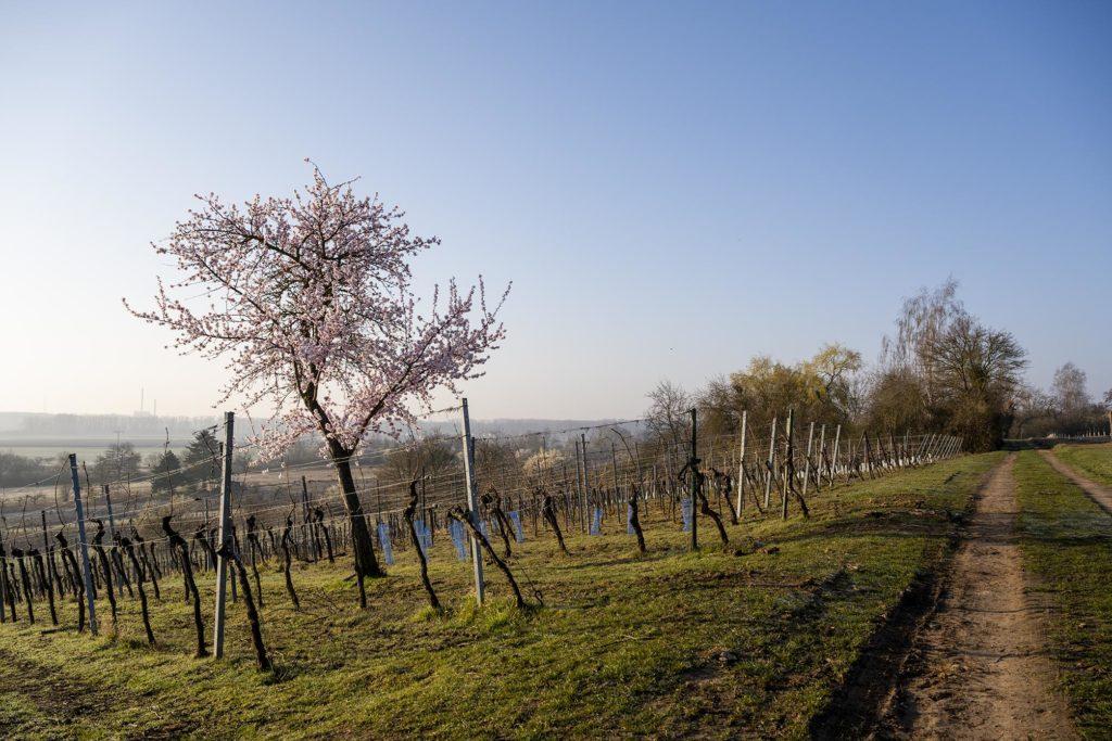 Mandelbaum im kahlen Weinberg vor leichtend blauem Himmel