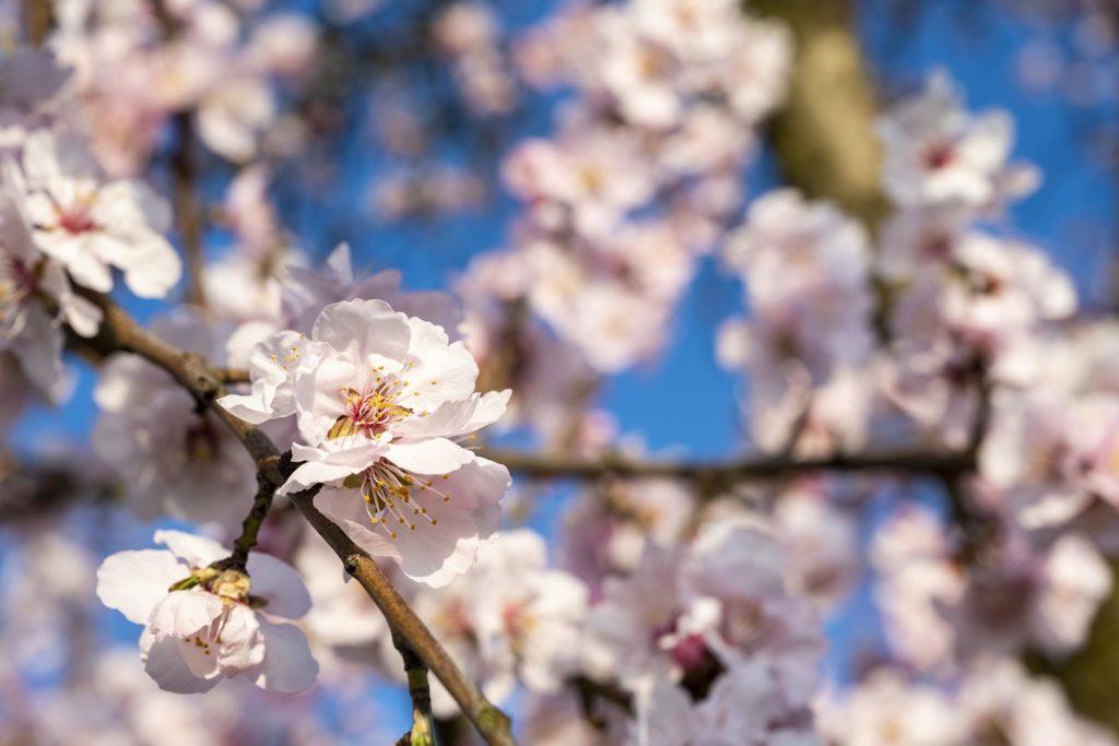 Rosa Mandelblüten am Baum vor blauem Himmel
