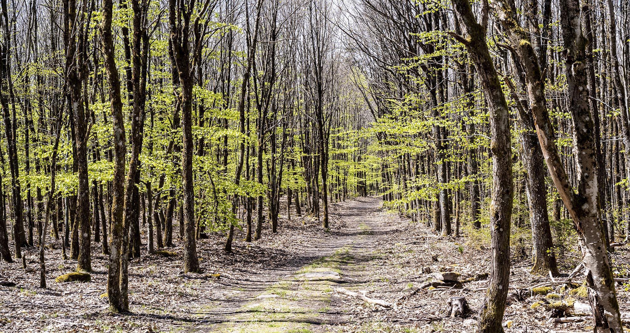 Weg durch den in zartem Grün neu sprießenden Wald