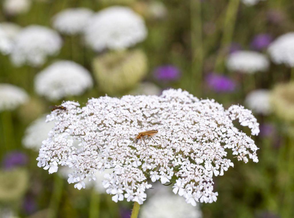 Blütenkopf einer Schafgarbe mit Insekt