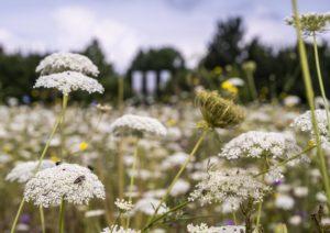 Schafgarbe-Blüten mit Insekten im Vordergrund, Blühwiese im Hintergrund